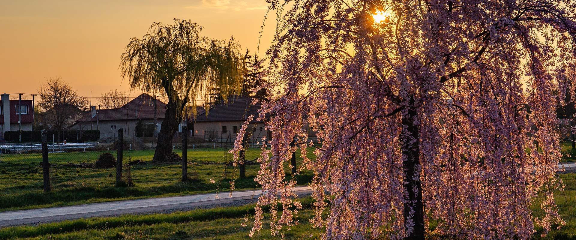 strom_vchod-slnka
